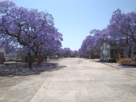 jacaranda trees pretoria